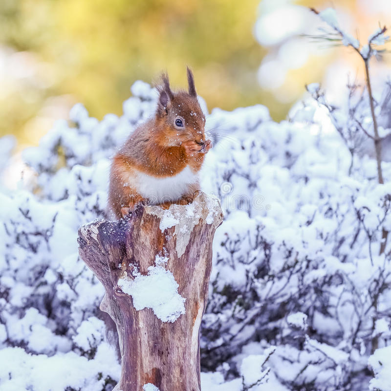 Red squirrel gathering food in Winter royalty free stock images