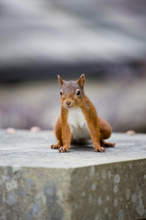 Download Red Squirrel stock photo. Image of stone, whiskers, squirrel - 37783476