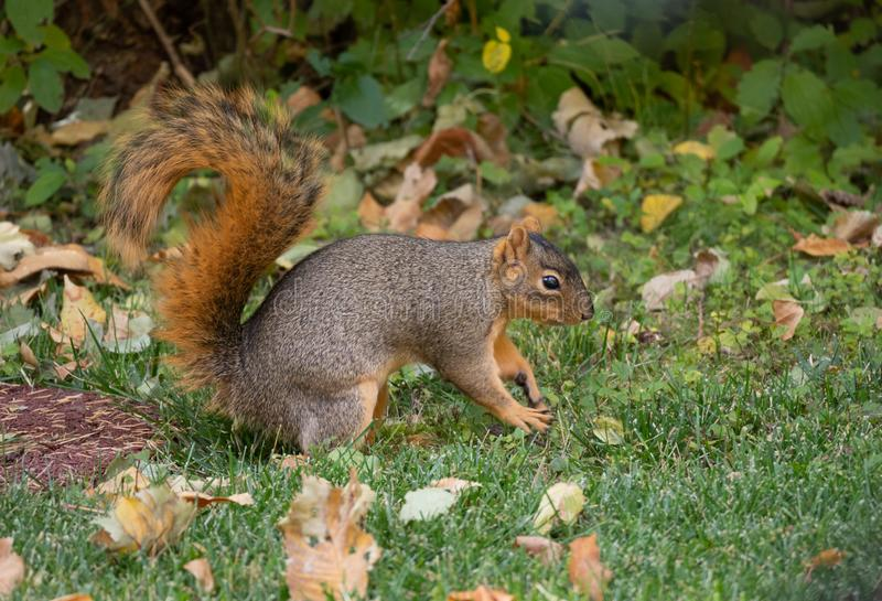 Red Squirrel in Green Grass royalty free stock image