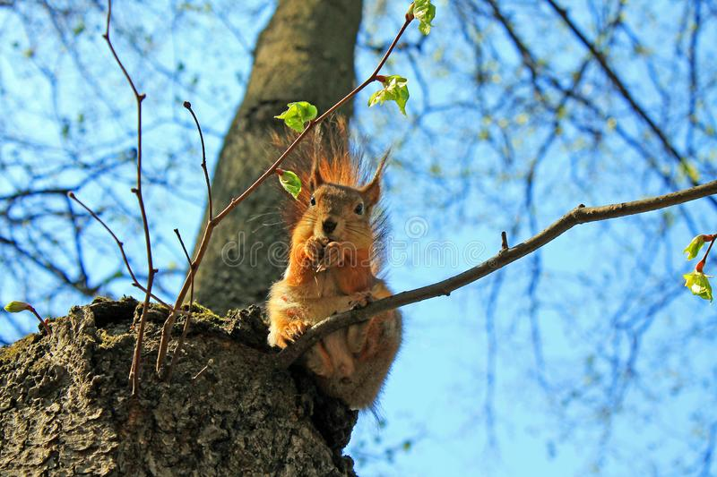 Squirrel on a high tree gnawing nuts on a spring day against a clear sky. A red squirrel on a high tree with unopened leaves gnawing nuts on a spring day against stock images