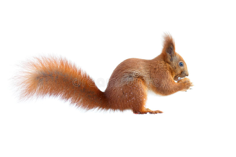 Red squirrel holding a nut isolated on white. Red squirrel with furry tail holding a nut isolated on white background stock photos