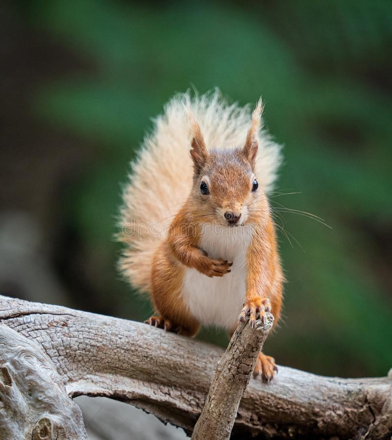 Bushy Tailed Red Squirrel with paw on Stick stock images