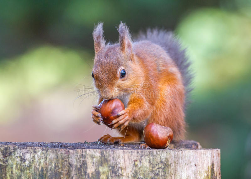 Red Squirrel with a lovely pair of conkers stock photo