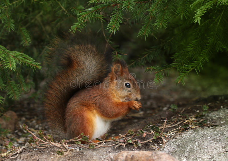 Red squirrel in natural forest environment stock photo