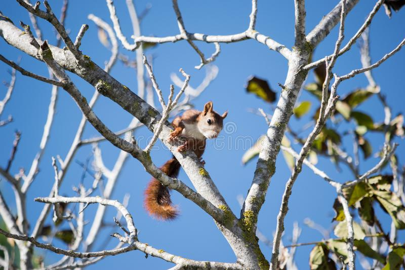 Red squirrel over a branch 2. Red squirrel posed in the top of a branch in a forest stock image