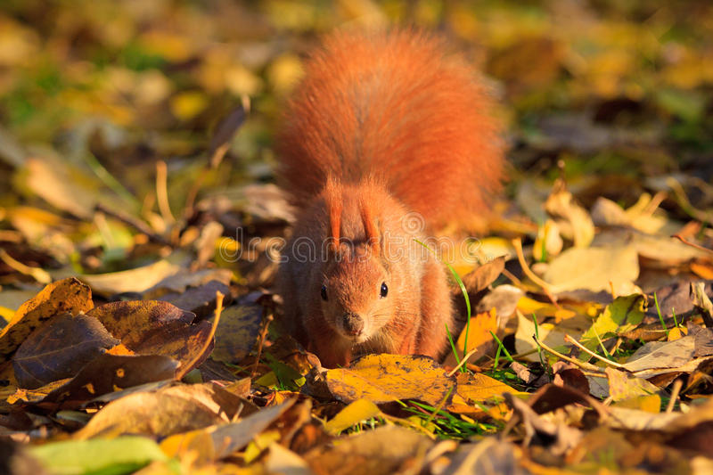 Red squirrel in park stock photos