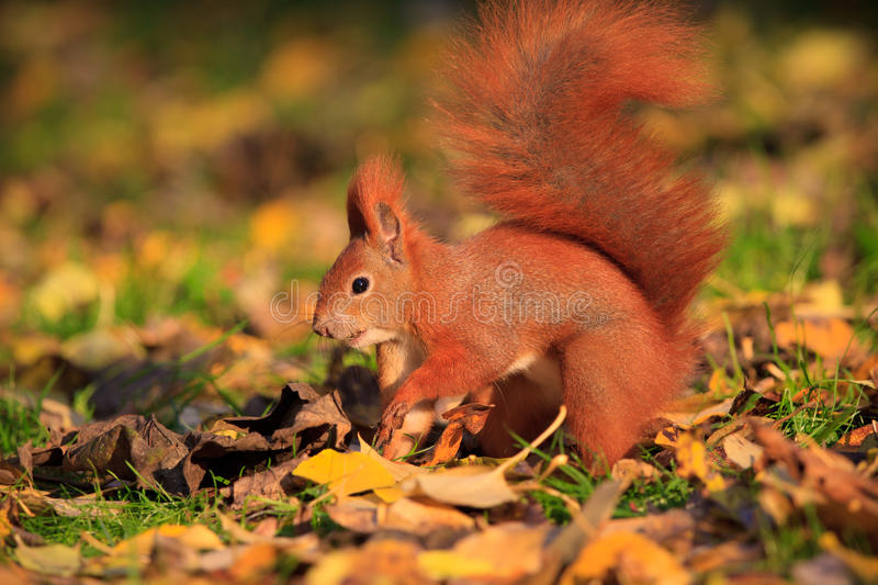 Red squirrel in park stock photography