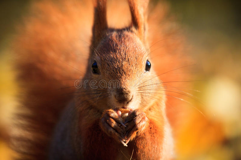 Red squirrel in park royalty free stock photos