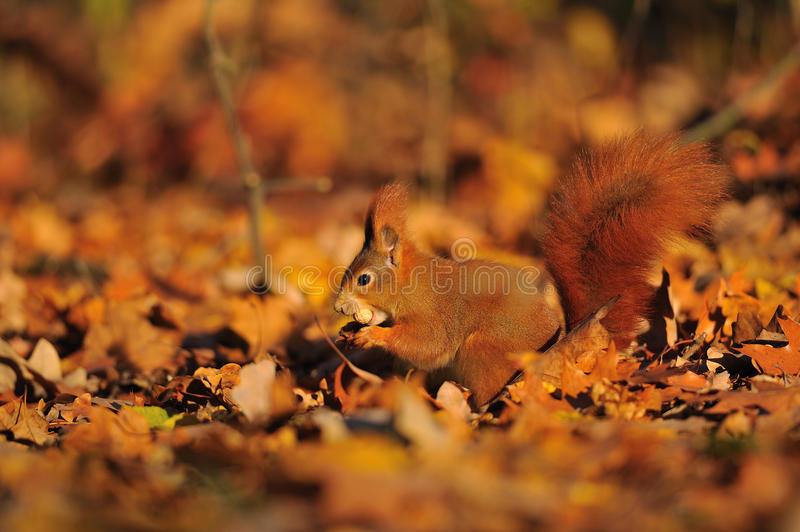 Red squirrel with peanut on the orange leafs royalty free stock photo