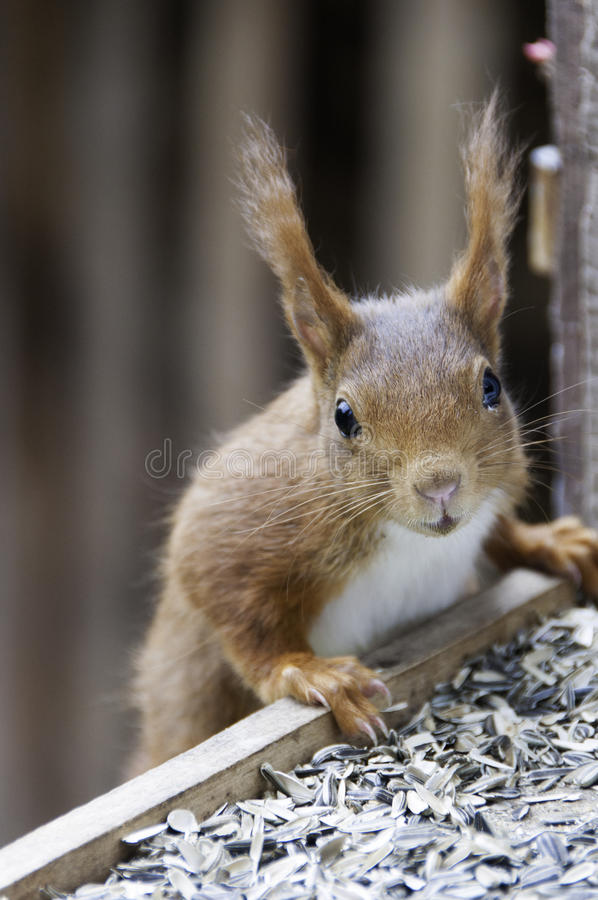 Download Red Squirrel portrait stock image. Image of outdoor, foxy - 32321457