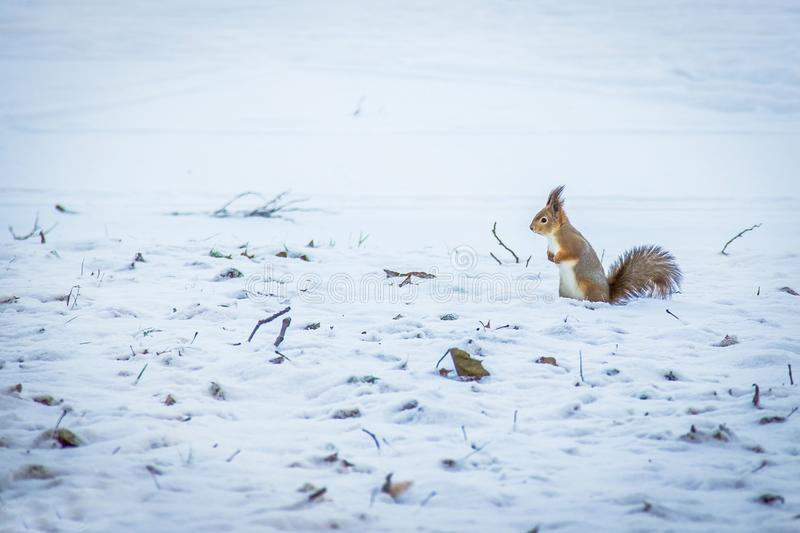 Red squirrel posing at the park.Cute red squirrel looking at winter scene - photo with nice blurred snow background stock photo