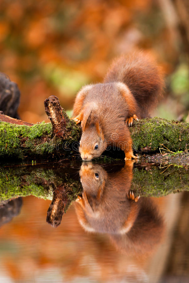 Red Squirrel. Reflected in water royalty free stock photo