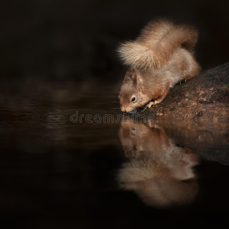 Red Squirrel Reflection royalty free stock photography