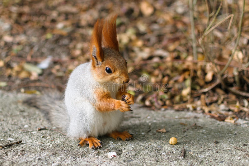 Download Red squirrel stock image. Image of rodent, animals, color - 33307201