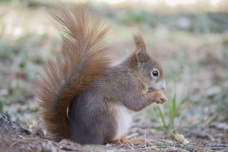 Red squirrel (rodent red squirrel). Rodent red squirrel eating peanuts royalty free stock photo