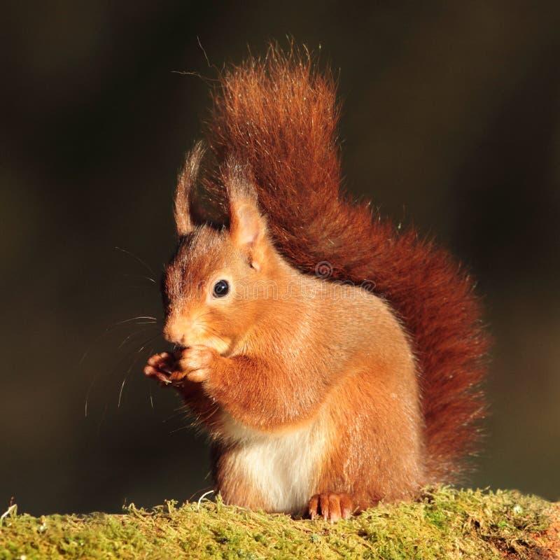Free Red Squirrel (Sciurus Vulgaris) Stock Photography - 28035252