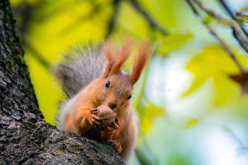 A red squirrel or Sciurus vulgaris also called Eurasian red sguirrel in autumn park forest. Autumn squirrel portrait stock image