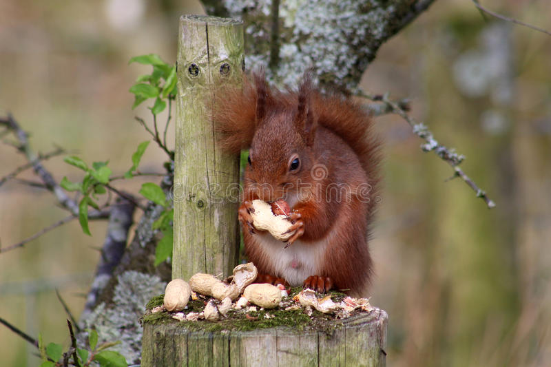 Red Squirrel, Sciurus Vulgaris, eating peanuts. Single Eurasian Red Squirrel, Sciurus Vulgaris, sat on a fence post and holding a peanut shell in it& x27;s front royalty free stock photo