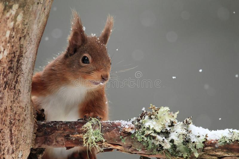 Red Squirrel (Sciurus vulgaris) in Falling Snow. Close up shot of a red squirrel (Sciurus vulgaris) on the branch of a tree in falling snow. Taken in SW Scotland stock photography