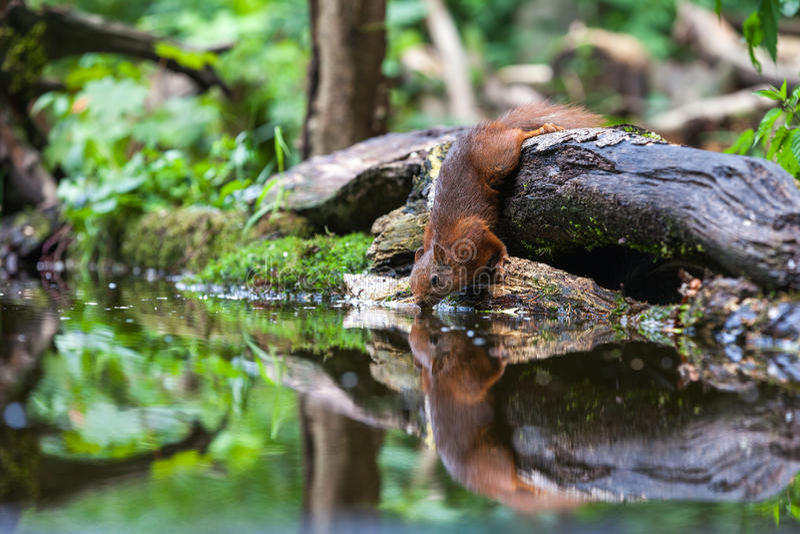 Download Red Squirrel stock image. Image of eurasian, eating, hair - 32195203