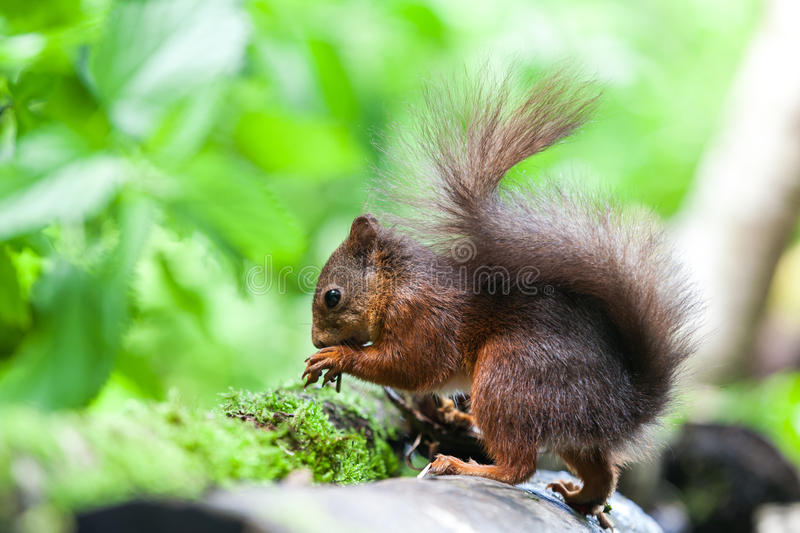 Download Red Squirrel stock photo. Image of mammal, fauna, hair - 32195208