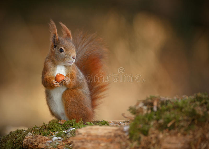 Red squirrel looking right stock photos