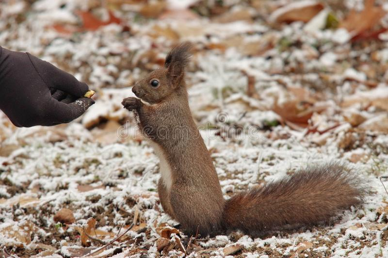 Red squirrel Sciurus vulgaris in park, on winter. Red Squirrel Sciurus vulgaris in a park, on winter, fed from the hand royalty free stock photos