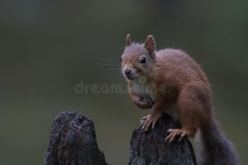Red squirrel, Sciurus vulgaris, posing on an old stump in a pine forest cairngorms NP, scotland, august. stock photos