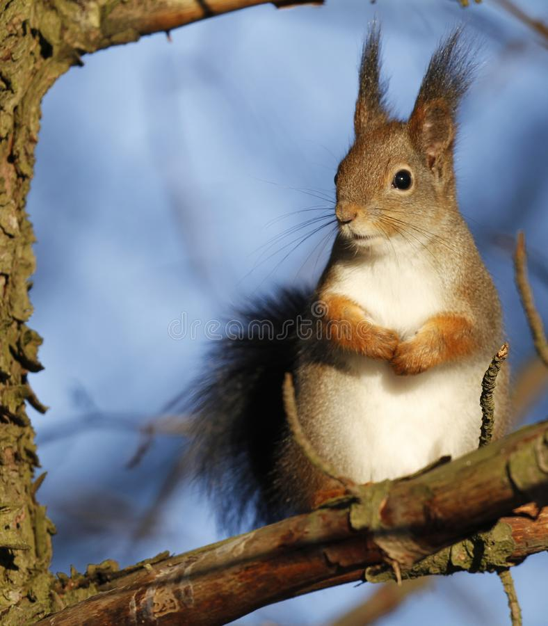 Red Squirrel Sciurus vulgaris. Sitting on a tree branch in Finland royalty free stock images
