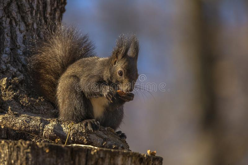 Red squirrel, Sciurus vulgaris, on a tree trunk. Eating a nut royalty free stock photography