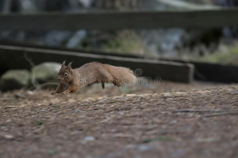 Red squirrel, Sciurus vulgaris, wild running, sitting, leaping, in pine trees, ground in winter, cairngorm national park. stock images