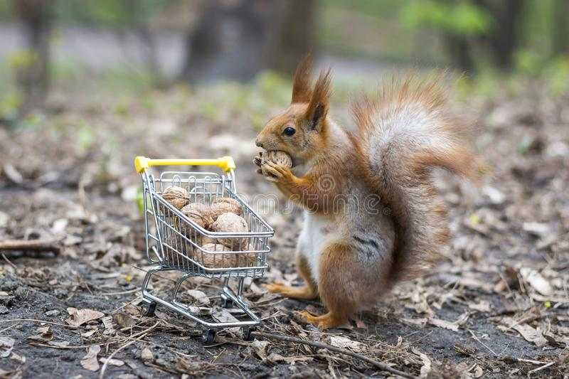 Red squirrel with shopping cart. Red squirrel goes shopping with the small shopping cart full of walnuts stock photo