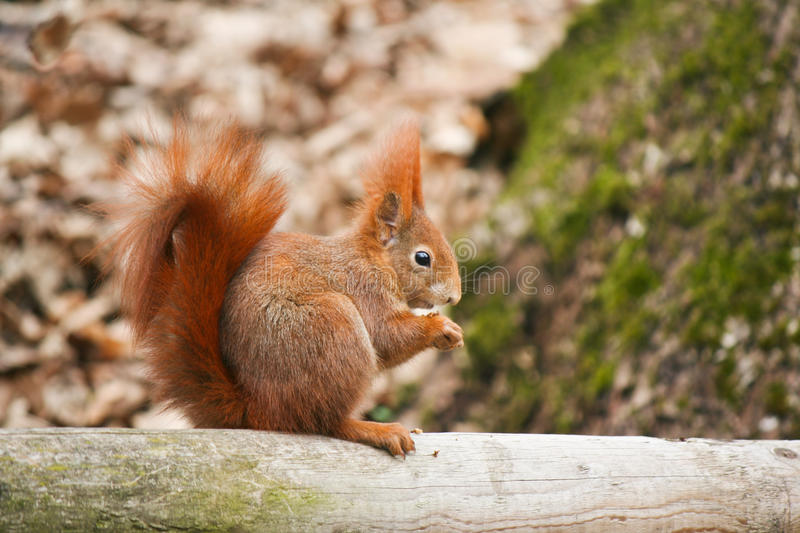 Red squirrel. Sit and eating seed stock photo