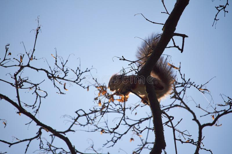 Red squirrel sits on a tree branch against the blue sky stock photo
