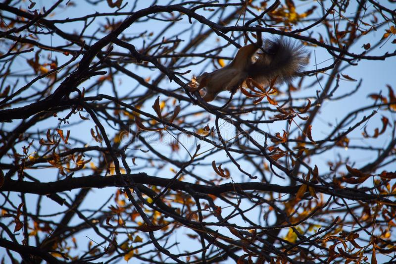 Red squirrel sits on a tree branch against the blue sky. Red squirrel sits on tree branch against the blue sky royalty free stock photo