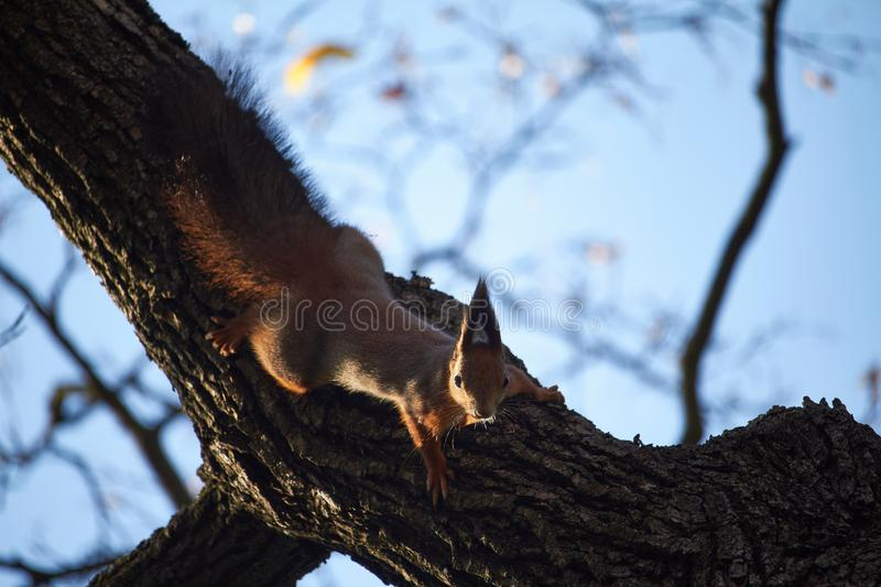 Red squirrel sits on a tree branch against the blue sky. Red squirrel sits on tree branch against the blue sky royalty free stock photography