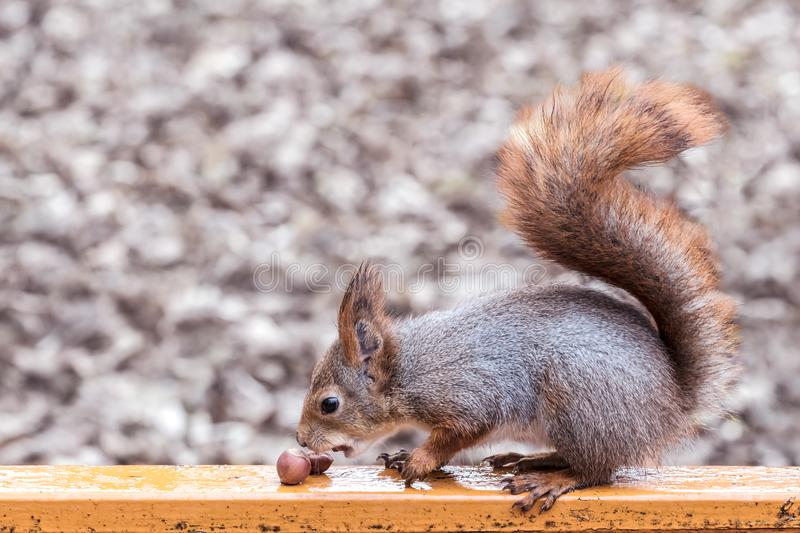 Red squirrel sitting on bench with nuts on blurred autumn background. Cute red squirrel sitting on a bench with nuts on blurred autumn park background royalty free stock photography