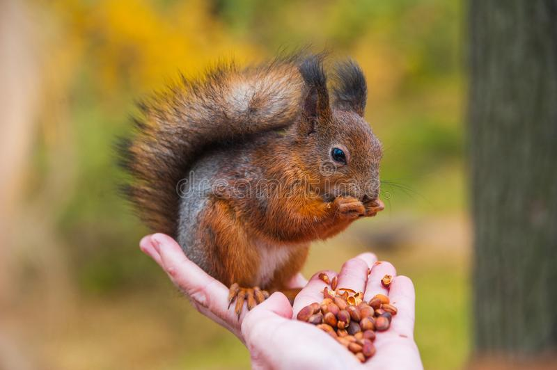 The red squirrel sitting and eating on girl`s hands, animals in wildlife, closeup perspective of a colorful cute animal in autumn stock photography