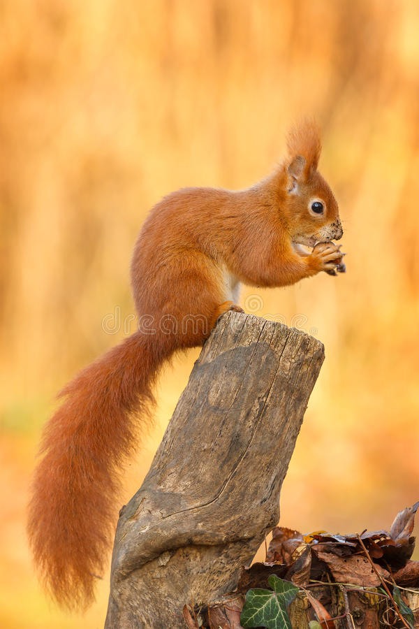 Red squirrel sitting and eating a hazel nut stock photo