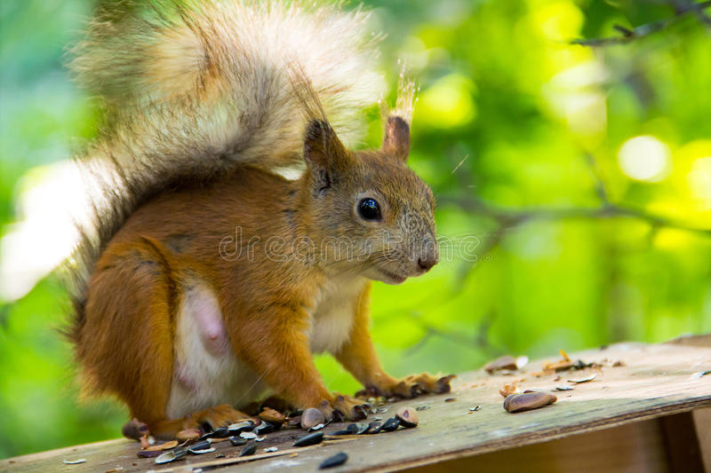Red squirrel sitting watching warily on the roof of the house among the nuts. Seeds closeup stock photography