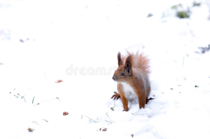 Red squirrel sitting in the winter. Snow background. Urban animals royalty free stock photos