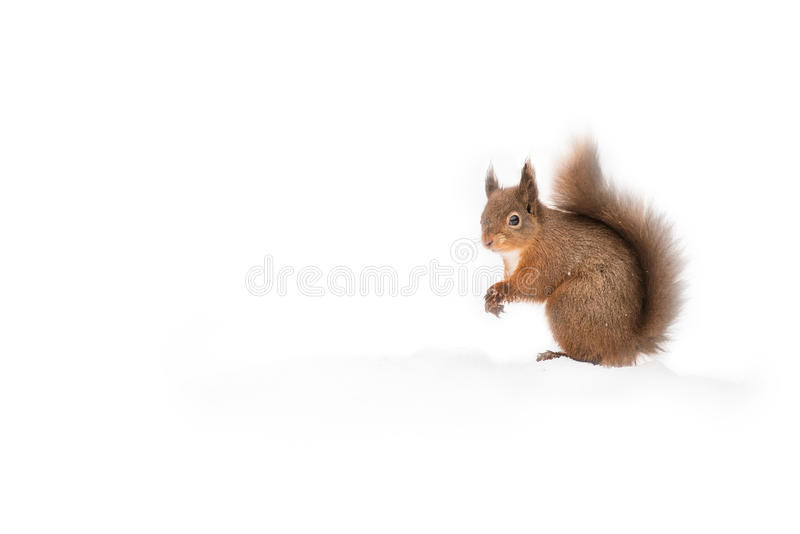 Red Squirrel in Snow. A Red Squirrel looks around then resumes its search for food on a snow field royalty free stock photos