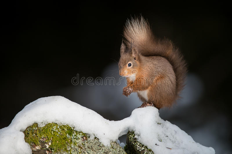 Download Red Squirrel in Snow stock photo. Image of curious, fast - 28732912