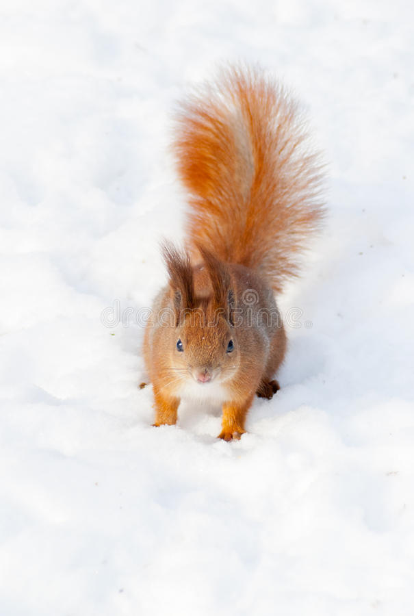 Red squirrel on the snow royalty free stock images