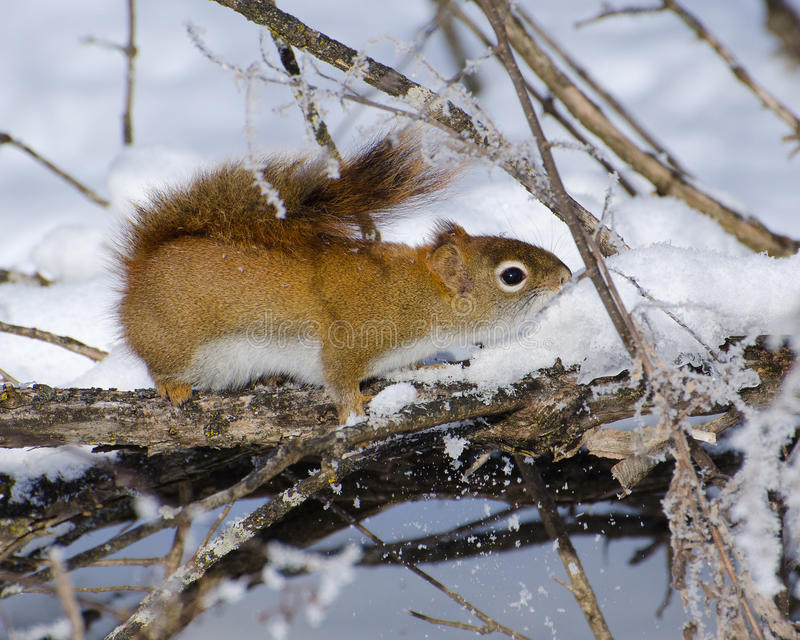 Download Red Squirrel In The Snow Stock Photo - Image: 83713576