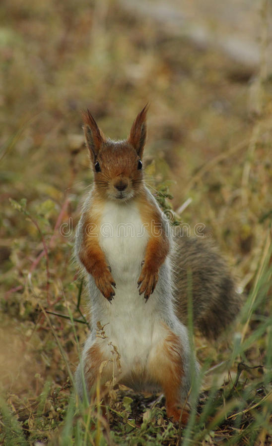 Free Red Squirrel Standing In Grass Royalty Free Stock Image - 45249696