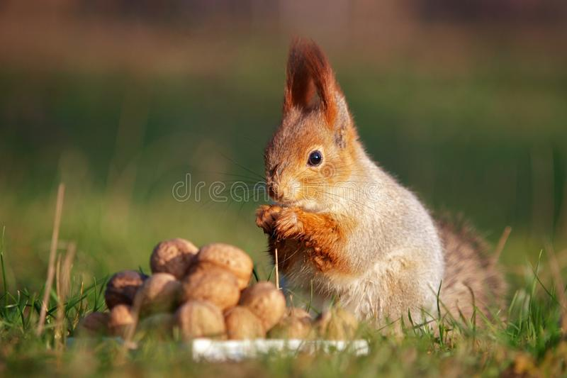 The red squirrel stands on the ground in front of a pile of nuts.  stock image