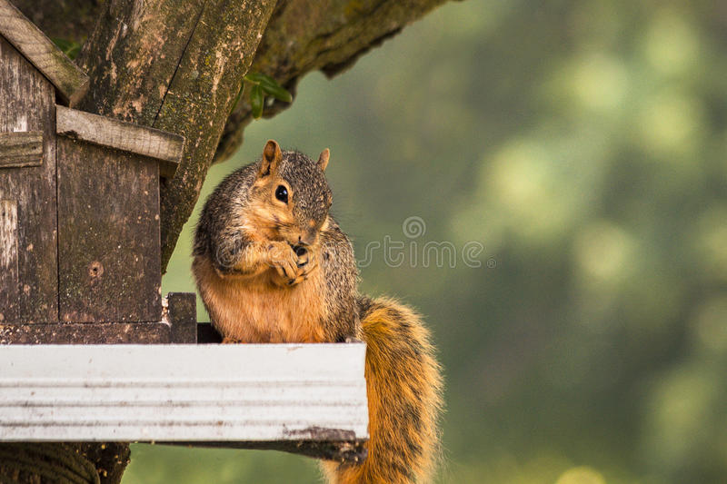 Mischievous Red Squirrel Stealing His Lunch. stock images
