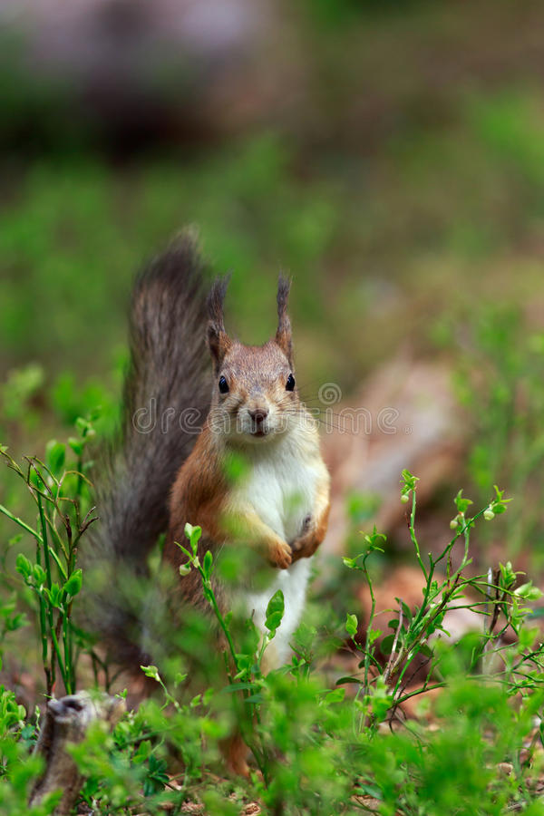 Red Squirrel. There were three Red Squirrels visiting the bird feeder in Wild Brown Bear lodge near Lentiira, Finland. This one came too close and sat on top of stock images