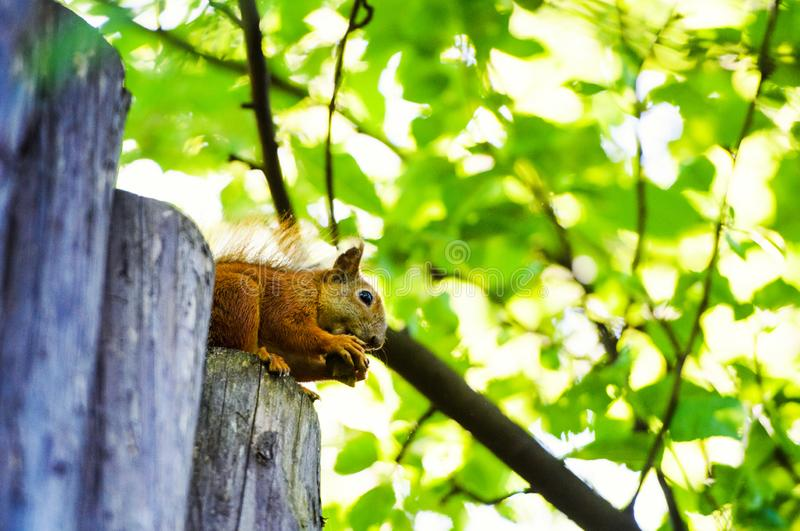 Red squirrel on a tree. Adorable, animal, autumn, background, beauty, brown, curious, cute, fluffy, forest, funny, fur, furry, green, hair, isolated, looking royalty free stock photography